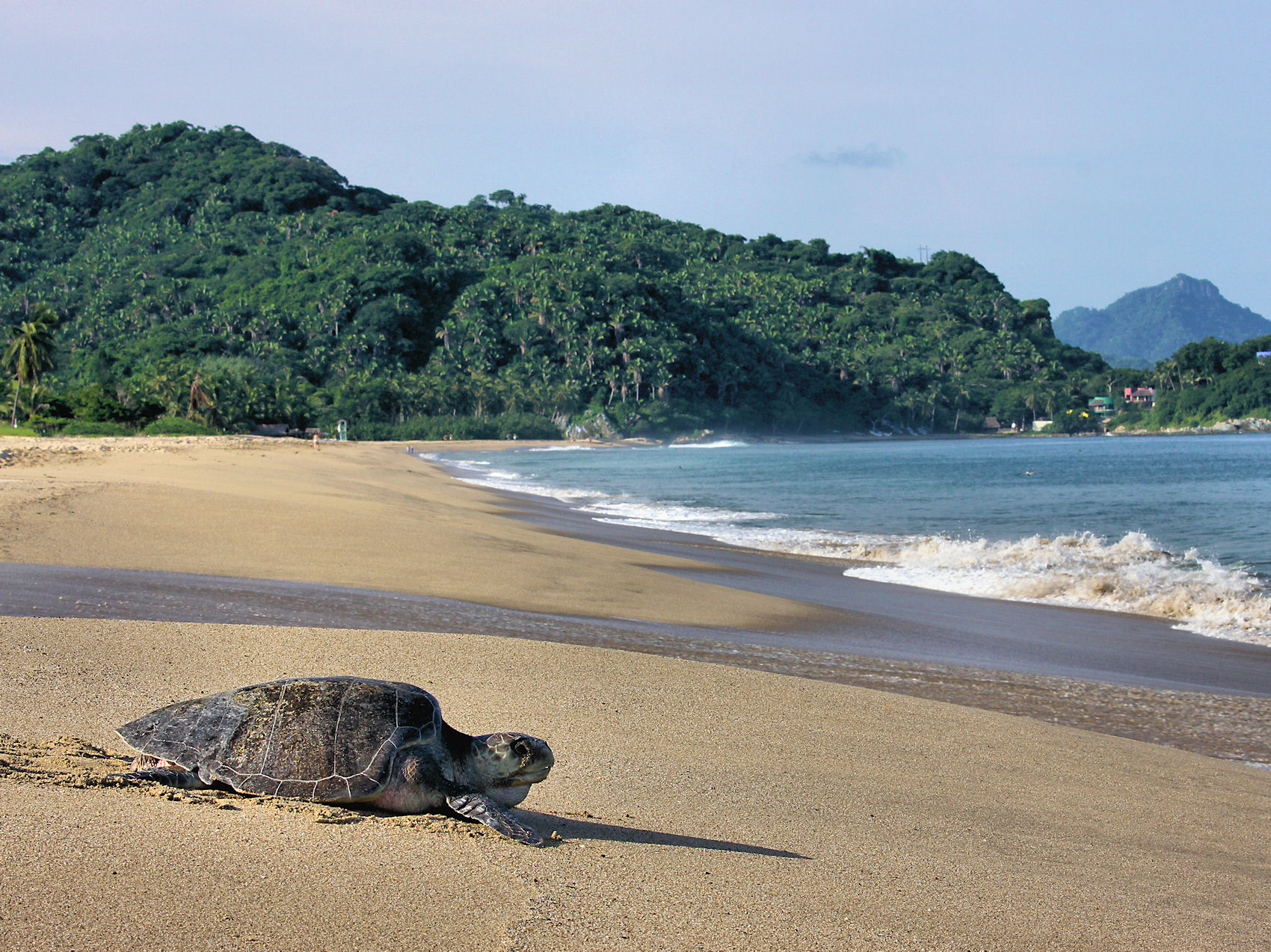 Marine Turtle Returning to the Sea